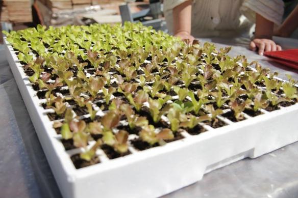planter-enciam